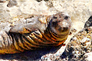 Elephant Seals Metal Prints - Young Elephant Seal  . 7D16091 Metal Print by Wingsdomain Art and Photography