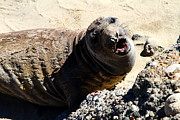 Elephant Seals Posters - Young Elephant Seal Molting . 7D16100 Poster by Wingsdomain Art and Photography