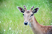 Fawn Framed Prints - Young Fawn, Red Fallow Deer Buck Framed Print by Sharon Vos-Arnold