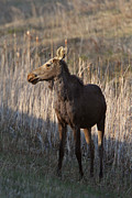 Moose Digital Art Metal Prints - Young female moose on Hecla Island in Manitoba Metal Print by Mark Duffy