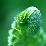 Wild Plants Posters - Young Fern close up Poster by Heiko Koehrer-Wagner