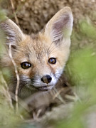 Fox Digital Art - Young Fox Kit by Mark Duffy