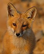 Young Fox Print by William Jobes