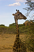Young Giraffe Photos - Young Giraffe Checking Us Out by Darcy Michaelchuk