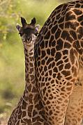 Young Giraffe Photos - Young Giraffe by Johan Elzenga