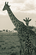 Young Giraffe With Mom In Sepia Print by Darcy Michaelchuk