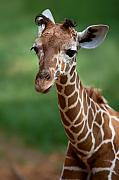 Young Giraffe Photos - Young Giraffe by Yuri Peress