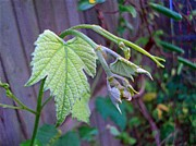 Grape Leaves Photos - Young Grape Leaves by Padre Art