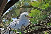 Egret Originals - Young Great Egret by Kenneth Albin
