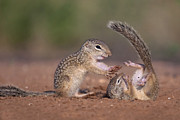 Hector D Astorga - Young Ground Squirrels...