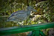 Bahamas Framed Prints - Young Heron Chillin on the Railing Framed Print by Noah Katz