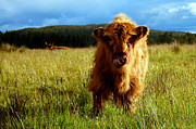 Kyloe Prints - Young highland cow Print by Gavin Macrae