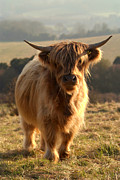 Kyloe Posters - Young Highland Cow Poster by Serena Bowles
