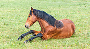 Beautiful Manes Prints - Young horse lying in grassland Print by Ruud Morijn