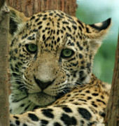 Evansville Framed Prints - Young Jaguar Framed Print by Sandy Keeton