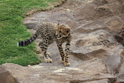 Cheetah Photo Originals - Young by Kevin Layman