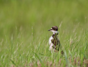 Killdeer Metal Prints - Young Killdeer in grass Metal Print by Mark Duffy