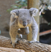 Koala Bear Art - Young Koala on a Branch by Clarence Alford