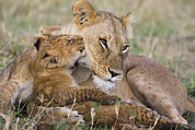 Two Animals Framed Prints - Young Lion Cub Nuzzling Mom Framed Print by Suzi Eszterhas
