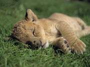 Lion Cub Sleeping Posters - Young Lion Sleeping Poster by Michael Leach and Photo Researchers