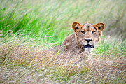 Big 5 Digital Art Prints - Young Male lion in savanna grass land. Print by Bernhard Bekker