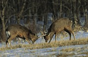 Young Male Sika Deer Practice Sparring Print by Tim Laman