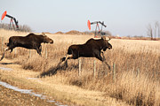 Bull Moose Posters - Young moose leaping over barbed wire fence Poster by Mark Duffy