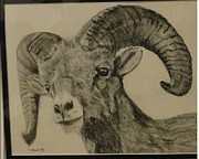 Mountain Goat Drawings - Young Mountain Goat by Shaunna Newell