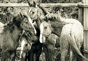 Wild Horse Pyrography Prints - Young Mustangs Print by Tess  Marie