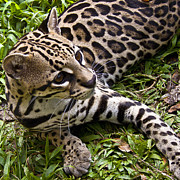 Tropical Wildlife Posters - Young Ocelot Poster by Heiko Koehrer-Wagner
