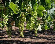 Grapevines Photos - Young On The Vine by Kent Sorensen