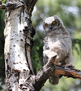 Owlet Photos - Young Owl by Shane Bechler
