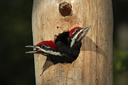 Pileated Woodpeckers Framed Prints - Young Pileatd Woodpeckers In The Nest Framed Print by George Grall