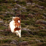 Animal Themes Prints - Young Pony Running Downhill Through Heather Print by Dominique Walterson