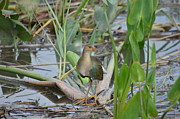 Young Purple Gallinule Print by Kathy Gibbons