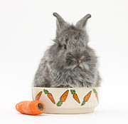 Silver Bowl Prints - Young Rabbit In A Food Bowl With Carrot Print by Mark Taylor
