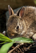 Herbivores Prints - Young Rabbit Print by John Greim