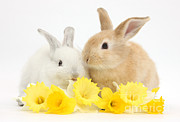 House Pets Posters - Young Rabbits With Daffodils Poster by Mark Taylor