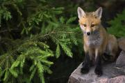 Killarney Provincial Park Prints - Young Red Fox On A Rock With Evergreen Print by Mike Grandmailson