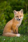 Prim Prints - Young Red Fox, Point Prim, Prince Print by John Sylvester