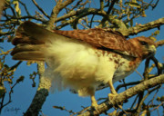 Red Tail Hawk Photographs Posters - Young Red-Tail Poster by Phill  Doherty