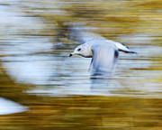 Larus Delawarensis Prints - young Ring-billed Gull Print by Tony Beck