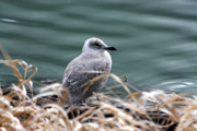 Sea Birds Prints - Young Seagull Print by Nick Gustafson