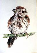 Sparrow Drawings Prints - Young sparrow Print by Sibby S