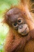 Indonesian Wildlife Prints - Young Sumatran Orangutan Print by Tony Camacho and Photo Researchers