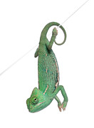 Veiled Prints - Young Veiled Chameleon Print by Life On White