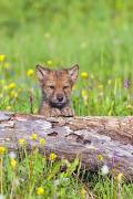Wild One Photos - Young Wolf Cub Peering Over Log by John Pitcher