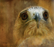 Red Tailed Hawk Framed Prints - Your Majesty Framed Print by Lois Bryan