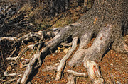 Tree Roots Prints - Your Roots Are Showing Print by Donna Blackhall