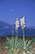 Moon Beach Framed Prints - Yucca and the Moon Framed Print by Richard Roselli